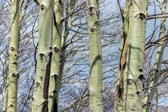 Σχέδιο ματιών στον κορμό δέντρων λευκών Στοκ Εικόνες