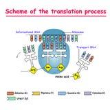 Σχέδιο της διαδικασίας μεταφράσεων syntesis mRNA από το DNA στον πυρήνα Το mRNA αποκωδικοποιώντας ριβόσωμα από τη σύνδεση του com ελεύθερη απεικόνιση δικαιώματος