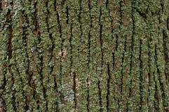 Σχέδιο του μύκητα βρύου λειχήνων σε έναν φλοιό δέντρων Στοκ φωτογραφίες με δικαίωμα ελεύθερης χρήσης