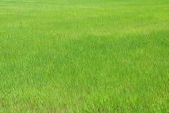 Σχέδιο του πράσινου τομέα ρυζιού Οι εγκαταστάσεις ρυζιού Στοκ Εικόνα