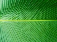 Σχέδιο φύλλων μπανανών Πράσινος στενός επάνω φύλλων Στοκ Εικόνες