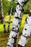 Σχέδιο Watercolor Κορμοί σημύδων και ένα δάσος στην απόσταση στοκ φωτογραφία με δικαίωμα ελεύθερης χρήσης
