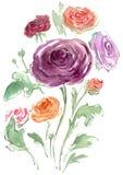 Σχέδιο Watercolor χρωματισμένου Rununculus διανυσματική απεικόνιση