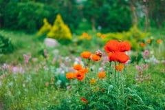Σχέδιο εξωραϊσμού κήπων Κρεβάτι λουλουδιών, πράσινα δέντρα Στοκ Φωτογραφίες