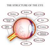 Σχέδιο η δομή του ανθρώπινου ματιού επίσης corel σύρετε το διάνυσμα απεικόνισης Στοκ Εικόνες