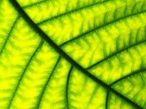 Σχέδιο κινηματογραφήσεων σε πρώτο πλάνο ενός πράσινου φύλλου Στοκ Εικόνες