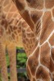 Σχέδιο παλτών για giraffe με ένα άλλο giraffe τα μακριά πόδια στο υπόβαθρο στοκ εικόνες με δικαίωμα ελεύθερης χρήσης