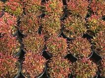 Σχέδιο του φύλλου κόκκινων και πράσινων φυτών στο μαύρο δοχείο Alternanthera Στοκ φωτογραφία με δικαίωμα ελεύθερης χρήσης