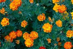 Σχέδιο των πορτοκαλιών λουλουδιών tagetes μεταξύ των πράσινων φύλλων Στοκ Εικόνες
