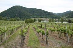 Σχέδιο των σειρών των αμπέλων σταφυλιών στον αμπελώνα στην κοιλάδα Wachau στις όχθεις του ποταμού Δούναβης στην Αυστρία στοκ φωτογραφία με δικαίωμα ελεύθερης χρήσης