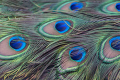 Σχέδιο φτερών Peacock Στοκ Εικόνες