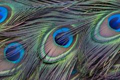 Σχέδιο φτερών Peacock Στοκ εικόνες με δικαίωμα ελεύθερης χρήσης