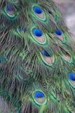 Σχέδιο φτερών Peacock Στοκ Φωτογραφίες