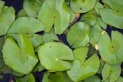 Σχέδιο φύλλων Lotus Στοκ φωτογραφία με δικαίωμα ελεύθερης χρήσης