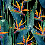 Σχέδιο strelitzia Watercolor στοκ εικόνες