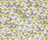 Σχέδιο Windflower Anemone Στοκ Φωτογραφία