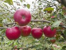 Σχίστε το κόκκινο μήλο σε ένα δέντρο Στοκ Φωτογραφία