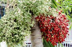 Σχίστε areca ή betel τα φρούτα φοινικών. Στοκ Εικόνες