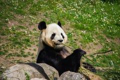 Σχεδιάγραμμα της Panda Στοκ εικόνες με δικαίωμα ελεύθερης χρήσης