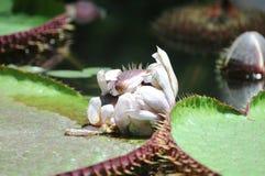 Σχεδόν ανθίζοντας - ανάπτυξη λουλουδιών κρίνων νερού στη Νότια Αυστραλία Στοκ εικόνες με δικαίωμα ελεύθερης χρήσης