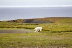 Σχετικός σήμερα: το καλοκαίρι, οι πολικές αρκούδες παραμένουν στα νησιά και την αναζήτηση των τροφίμων Στοκ Εικόνα