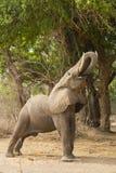 Σχεδιάγραμμα ενός αφρικανικού ελέφαντα (africana Loxodonta) που ταΐζει Στοκ φωτογραφία με δικαίωμα ελεύθερης χρήσης