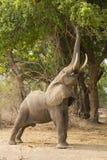 Σχεδιάγραμμα ενός αφρικανικού ελέφαντα (africana Loxodonta) που ταΐζει στοκ εικόνα