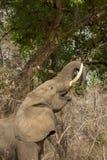 Σχεδιάγραμμα ενός αφρικανικού ελέφαντα (africana Loxodonta στοκ εικόνα