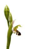 Σχεδιάγραμμα ορχιδεών μελισσών που απομονώνεται - apifera Ophrys Στοκ Εικόνες
