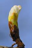 Σχεδόν ανοίξτε το μπουμπούκι horse-chestnut Στοκ Φωτογραφίες