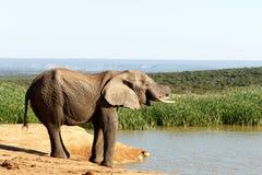 Σχεδόν - αφρικανικός ελέφαντας του Μπους Στοκ Εικόνες