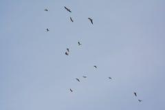 Σχηματισμός γλάρων των μαύρος-heade-Μαύρων κατά την πτήση - Chroicocephalus ridibundus& x29  Στοκ φωτογραφία με δικαίωμα ελεύθερης χρήσης