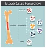 Σχηματισμός κυττάρων αίματος διανυσματική απεικόνιση