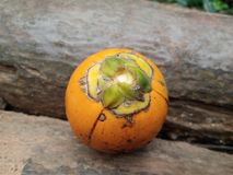 Σχισμένα arecanut φρούτα Στοκ φωτογραφίες με δικαίωμα ελεύθερης χρήσης