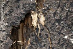 Σχισμένος φλοιός δέντρων με τις ίνες στοκ φωτογραφίες με δικαίωμα ελεύθερης χρήσης