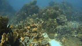 Σχολείο ελεύθερου κοντινού ψαριών τα κοράλλια απόθεμα βίντεο