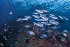 Σχολείο του μπλε surgeonfish στοκ φωτογραφία