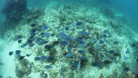 Σχολείο του μπλε Tang στην καραϊβική θάλασσα φιλμ μικρού μήκους