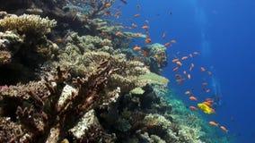 Σχολείο των ζωηρόχρωμων ψαριών στην υποβρύχια Ερυθρά Θάλασσα κοραλλιογενών υφάλων απόθεμα βίντεο