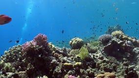 Σχολείο των ζωηρόχρωμων ψαριών στο υπόβαθρο του τοπίου κοραλλιογενών υφάλων υποβρύχιου απόθεμα βίντεο