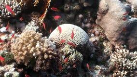 Σχολείο των φωτεινών πορτοκαλιών ψαριών στην καθαρή μπλε υποβρύχια Ερυθρά Θάλασσα υποβάθρου φιλμ μικρού μήκους