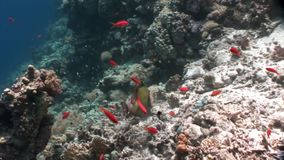 Σχολείο των φωτεινών πορτοκαλιών ψαριών στην καθαρή μπλε υποβρύχια Ερυθρά Θάλασσα υποβάθρου απόθεμα βίντεο