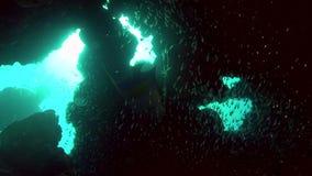 Σχολείο των ψαριών γυαλιού και του maculosus Yellowbar angelfish Pomacanthus στο κοράλλι της Ερυθράς Θάλασσας Σουδάν απόθεμα βίντεο