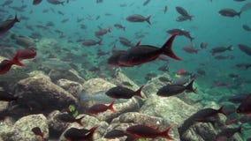 Σχολείο των ψαριών στο Λα Παζ θάλασσας του Cortez νησιών Los Isoletes φιλμ μικρού μήκους
