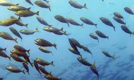 σχολείο ψαριών Στοκ Φωτογραφία