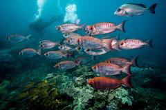 Σχολείο Bigeye ημισεληνοειδής-ουρών των ψαριών που κολυμπούν μαζί πέρα από το σκόπελο Στοκ Εικόνες