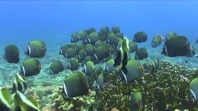 Σχολείο Redtail butterflyfish Chaetodon collare με το falcula Blackwedged butterflyfish Chaetodon, φάντασμα bannerfish φιλμ μικρού μήκους