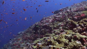Σχολεία των μπλε και κόκκινων ψαριών σε έναν τροπικό σκόπελο φιλμ μικρού μήκους