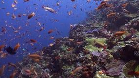 Σχολεία των μπλε και κόκκινων ψαριών σε έναν τροπικό σκόπελο απόθεμα βίντεο