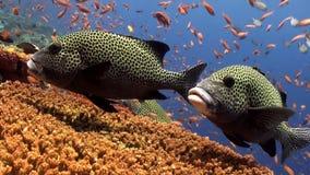 Σχολείο των ζωηρόχρωμων ψαριών και των μεγάλων sweetlips στο σκόπελο απόθεμα βίντεο
